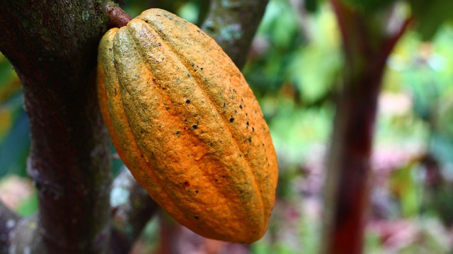 The benefits of cocoa that cannot be missed for good health